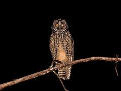 Stygian Owl (Asio stygius) (Rodrigo Conte) Tags: coruja mocho corujadiabo mochodiabo stygian owl asio stygius stygianowl asiostygius brasil brazil brasilia brasilemimagens fantasticnature ave bird birdofprey strigidae