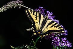 Butterfly (mjeedelbr) Tags: butterfly