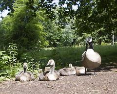 2017-06-18 Virginia Water Savill Gardens IMG_9172 (Darkstar Moody) Tags: birds geese goose canadagoose gosling goslings water pond lake savillgarden virginiawater windsorgreatpark flora fauna plants animals