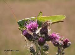 Grote groene sabelsprinkhaan (jeannette.dejong) Tags: ngc naturelovers nederland natuur groen gelderland veluwe insekt grote groene sabelsprinkhaan beekbergen