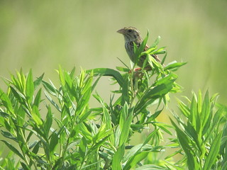 Henslow's Sparrow by Russ Allison