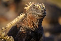 Marine Iguana Portrait (pbmultimedia5) Tags: marine iguana galapagos national park island portrait nature animal wildlife pbmultimedia fernandina