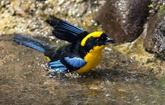 IMG_2104 Blue-winged Mountain Tanager (suebmtl) Tags: ecuador santadeo pichinchaprovince bird birding tanager bluewingedmountaintanager anisognathussomptuosus