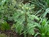 Wollemia Nobilis (2). 20.06.2010 (NashiraExoticGarden) Tags: wollemianobilis exoticgarden exotentuin 20062010