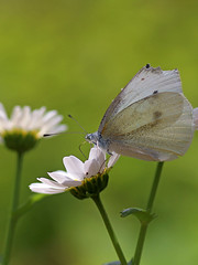 Cabbage Butterfly (Johnnie Shene Photography(Thanks, 2Million+ Views)) Tags: cabbagebutterfly butterfly commonbutterfly lepidoptera whitebutterfly animal insect bug nature natural wild wildlife livingorganism tranquility korea asia vertical feeding sideview depthoffield bokeh adjustment interesting awe wonder fulllength feeler photography outdoor colourimage fragility freshness nopeople foregroundfocus macro closeup magnified perching daisy flower flora floral floweringplant animalandplant plant shadow spring day daylight sunlight canon eos80d 80d tamron 90mm f28 11 lens 배추흰나비 흰나비 나비 곤충 접사 매크로 wings limbs