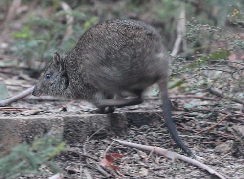Potorous tridactylus (Long-nosed Potoroo)