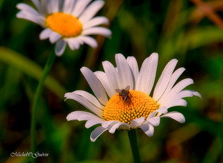 Marguerite, ou Chrysanthème