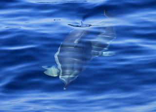 dolphin in the aegean sea