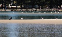 The bird parade, Windang, Lake Illawarra (RossCunningham183) Tags: windang lakeillawarra wollongong australia piedoystercatcher cormorant silvergull seagull