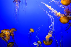 DSC_0136.jpg (hooch.photog) Tags: underwater water jellyfish fish nature blue sea ocean aquarium monterey california ca loverspoint canneryrow pebblebeach 17miledrive