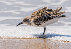 Sanderling at Ocracoke (MurrayH77) Tags: obx nc outer banks north carolina bird sanderling ocracoke canon 7d mkii sigma 150600 c