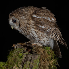 Tawny Owl (Mr F1) Tags: tawnyowl johnfanning wild scotland nature outdoors flash cold hide night dark detail feathers brown strixaluco