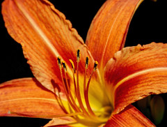Day Lily, Day Lily, Day Glow ... A song of love is a song of woe (Parowan496) Tags: daylily orange spring hemerocallis asongofloveisasadsonghililihililihilo