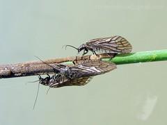 Sialis lutaria (crnabambula) Tags: sialis lutaria alder fly entomology flyfishing fliegenfischen flyfishingmix ivanrandjelovic