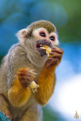 Monkey Eating (Abdulkader Oubari) Tags: portrait nature monkey animal cute wood funny little sit zoo wildlife fur baby outdoors wild primate eating mammal ape macaque aleppo no person england syrian