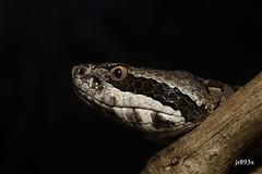 Mexican Dusky Rattlesnake (jt893x) Tags: 105mm afsvrmicronikkor105mmf28gifed crotalustriseriatusarmstrongii d810 jt893x macro mexicanduskyrattlesnake nikon pitvipor portrait rattlesnake snake venemous specanimal