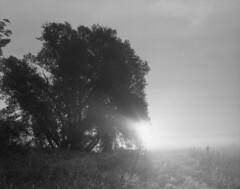Misty morning (Other dreams) Tags: flat ground tree sun backlit sunrise morning mist haze backlight grass meadow pomerania bw traditional film analogue fp4 pentax6x7 smcpentax55mm landscape vistulalandscapepark