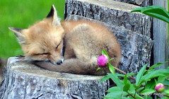 DSC_0710 (rachidH) Tags: fox renard vulpes foxcub renardeau redfox renardroux vulpesvulpes backyard frontyard wildlife sparta newjersey nj rachidh nature