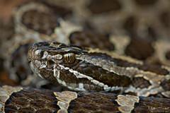 Eastern Massasauga Rattlesnake (Nick Scobel) Tags: eastern massasauga rattlesnake rattler venomous snake pit viper michigan endangered threatened species pattern fangs