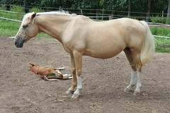 5 day old having a nap (notFlunky) Tags: dordogne france lot aquitaine horse foal flies animal holiday south west la vezier sarlat montignac