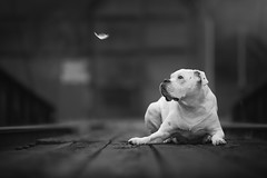 Featherweight Boxer (CaPpedDoG) Tags: dog canine friend companion boxer white whiteboxer bw black monochrome feather victoria bc british columbia canada esquimalt