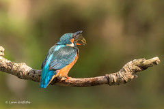Kingfisher (Alcedo atthis) D50_3613.jpg (Mobile Lynn) Tags: people birds wild petewhieldon watermarked kingfisher nature aves bird chordata coraciiformes face faces fauna wildlife otterbourne england unitedkingdom gb coth specanimal sunrays5 coth5 ngc npc
