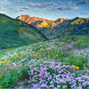 Wasatch Mountains Utah (Utah Images - Douglas Pulsipher) Tags: wasatch mountains utah albionbasin meadows alpine wildflowers peaks mountainous summer spring springtime scenery scenic location nature natural pristine spectacular environment environmental travel tourism tourist attraction view views flowers wilderness unspoiled undeveloped forest flower flowering bloom blooms blooming lupine rocky rockies devilscastle northamerica usa