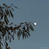 Rien que pour moi ..ce soir (beatricedrevon) Tags: lune albizia vegetation motsclésgénériques ciel flore jardinathome