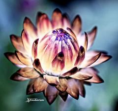 Flower in sunlight (haidarism (Ahmed Alhaidari)) Tags: light flower plant nature outdoor bokeh sigma105mm macro macrophotography sonya65 sigma art artistic create creative creation