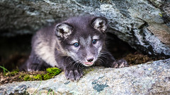 Exploring from the safty of a cave (CecilieSonstebyPhotography) Tags: arctic rock portrait fox tongue endangered closeup alopexlagopus small canon tiny whiskers animal norway cute markiii whitefox moss puppy polarfox cave canon5dmarkiii snowfox adorable ears ef100400mmf4556lisiiusm eyes cub langedrag specanimal
