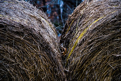 Misc. Outdoors-16.jpg (Drew Rampley) Tags: rough winter woods bale dark hay livestock pen sticks straw yellow