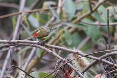 Suimanga Colafuego (ik_kil) Tags: suimangacolafuego firetailedsunbird aethopygaignicauda sunbird mountphulchowski kathmandu kathmanduvalley birdsofnepal birds nepal