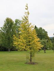 Metasequoia glyptostroboides-31 (The Tree Library (TreeLib.ca)) Tags: metasequoiaglypsroboides dawnredwood