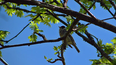 B i r d (ce_lia95) Tags: sonycybershot sonydsch1 camera capture picture shot bird tree animal leaf branches bluesky spring