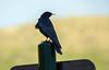Chocard à bec jaune (JeanJoachim) Tags: chocardàbecjaune pyrrhocoraxgraculus alpinechough passeriformes corvidae oiseau bird vogel aves uccello fågel fugl pássaro バード lintu птица ptak pentaxk10d smcpentaxf300mmf45edif alpendohle