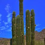 Organpipe Cactus thumbnail
