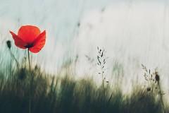 Un amour de Coquelicot -  Fuji xt1 + helios 44-2 (Nadège Gascon) Tags: vintage rouge ngphotographe wildlife nature charente vintagelens m42 helios xt1 fuji macro fleur poppies coquelicot