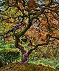 Portland Japanese Maple (Jared Wilson) Tags: portland japanese maple garden acer oregon