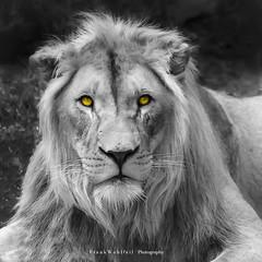YOU !!! look like meat ... (mr.wohl) Tags: löwe lion bw schwarzweis portrait löwenportrait colorkey ck