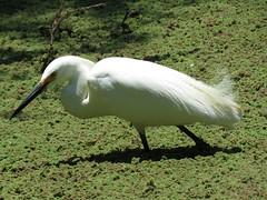 Snowy Egret - Madrona Marsh (weezerbee9) Tags: