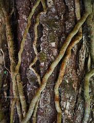 Entanglement (Modesto Vega) Tags: nikon nikond600 d600 fullframe tree treetrunk abstract detail entanglement