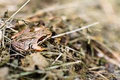 DSC_0098 (Vents Zemene) Tags: frog grass nikon 35 18g latvia jelgava forest animal amphibian