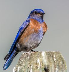 Western Bluebird (Sialia mexicana) (NigelJE) Tags: westernbluebird bluebird sialiamexicana sialia turdidae thrush nigelje whitelake okanaganfalls okanagan