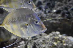 lookdown and a third (lwolfartist) Tags: fish saltwater sea ocean aquarium animal nature lookdown