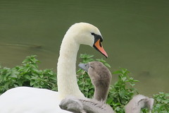 Time for a hug - Mother & Baby Mute Swans (Cygnus olor) (Suresh /R) Tags: nature swan swans muteswan whiteswan