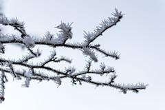 D72_3297 (Siebenundzwanzig10.de) Tags: rheinlandpfalz deutschland winter frost kalt kälte eis schnee januar nikon d7200 nikond7200 cold freez ice snow ast äste branch branches hahnstätten