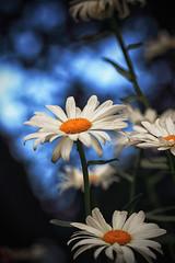 Daisy (dorameulman) Tags: daisy flower macro landscape summer inmybackyard gastonia northcarolina us dorameulman haiku poem sigma105mmf28exdgmacroos canon canon7dmark11 outdoor