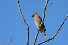 Cedar Waxwing-47507.jpg (Mully410 * Images) Tags: bird birdwatching birding cedarwaxwing avian birds birder waxwing
