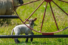 Little Lamb. (Tony Brierton) Tags: 18617 agriculture cowicklow farm lamb redcross sheep gate countywicklow ireland