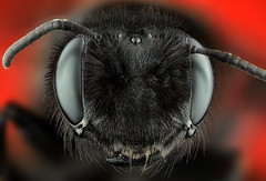 Xylocopa-2 (Can Tunçer) Tags: can cantunçer cantuncer canon canon6d macro makro macros macrophotography micro mikro makros microscop microscope mitutoyo mitu5x stack stacking studio setup stand stuido tunçer turkiye turkey türkiye tuncer tabletop techology red black bee